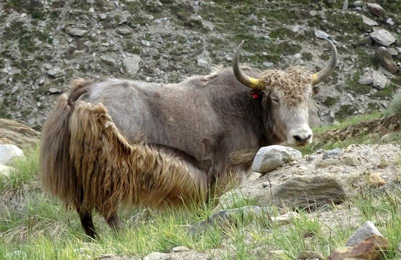 Yak dans la vallée du zanskar.