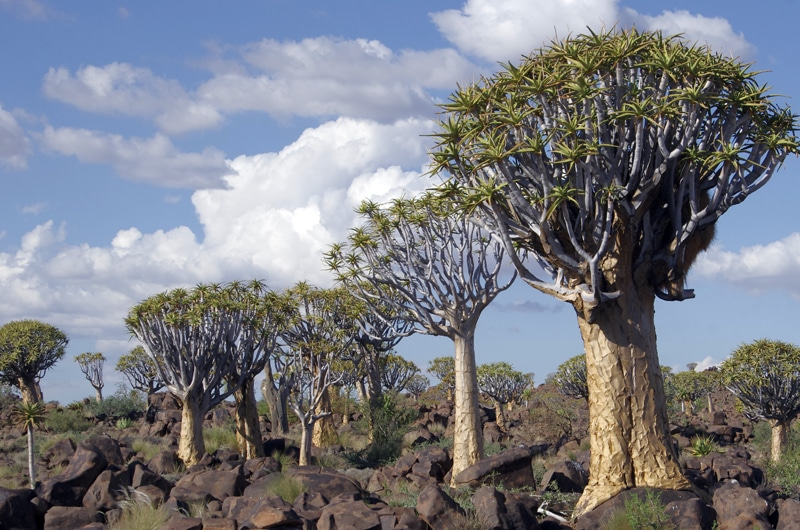 Kokerboom Tree forest ou Quiver Tree Forest.