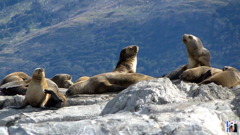 Dans le canal de Beagle, un îlot avec des éléphants de mer.