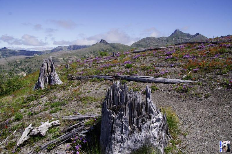 Mont St Helens. Les souches d'arbre après l'éruption de 1980. Les arbres ont été coupés à la base.