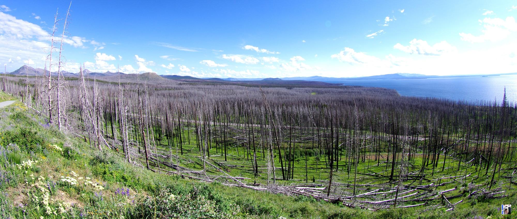 Forêt d'arbres morts après un grand incendie à Yellowstone.