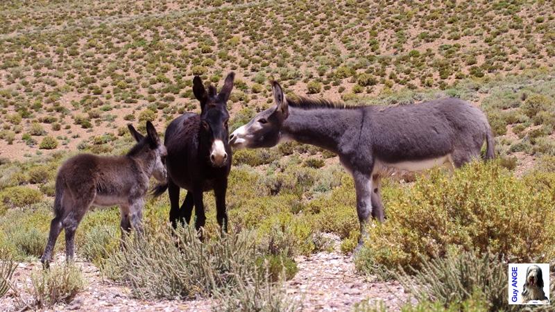 Argentine, région de la Puna. Des ânes sauvages.