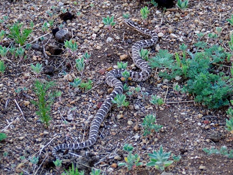 Serpent chassant des rongeurs.