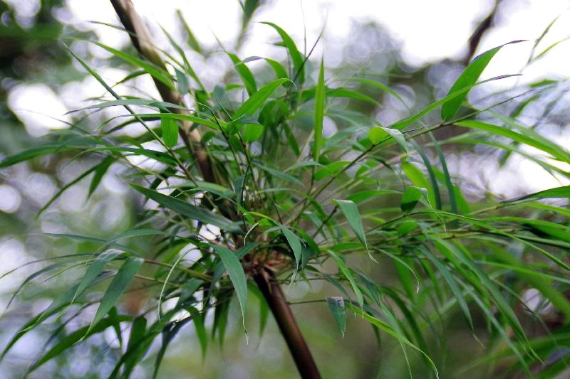 Bambou de Patagonie. (Chusquea culeou)