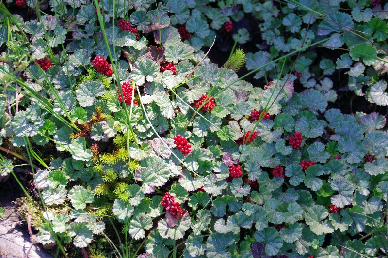 La « frutilla del diablo », Gunnera magellanica, se développe dans les sols humides, détrempés, les tourbières et le bord des ruisseaux.