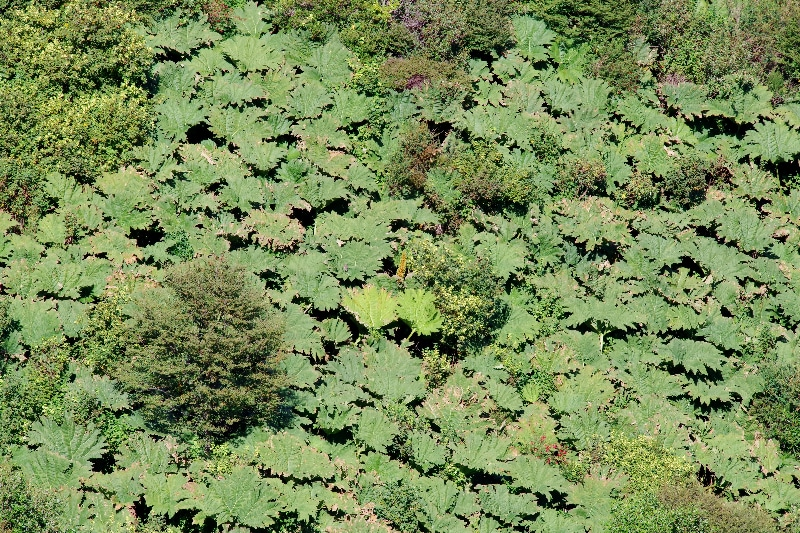 La Rhubarbe géante (Gunnera tinctoria). Parfois envahissante.