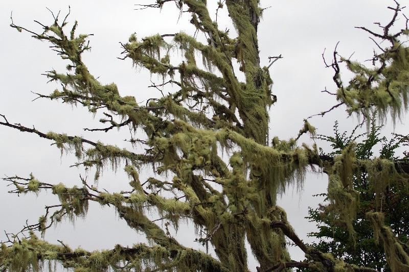 Lichen envahissant un arbre mort.