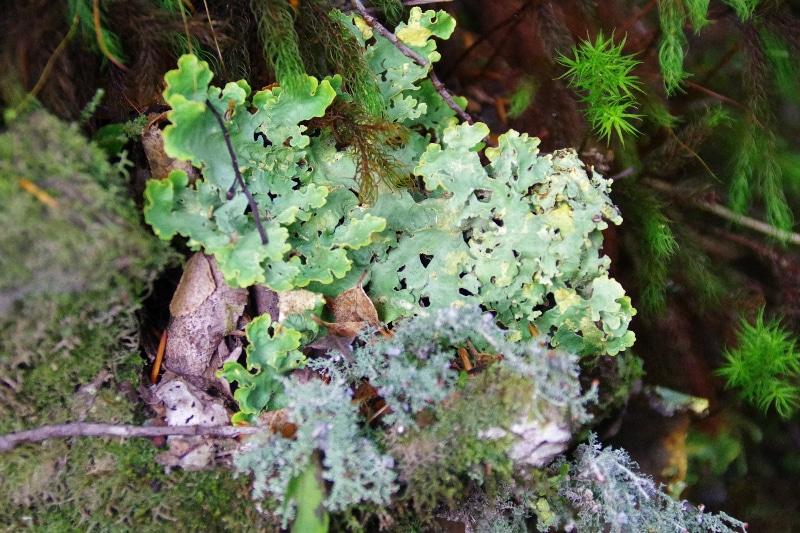 Lichen de Patagonie. Pousse au milieu de la mousse.