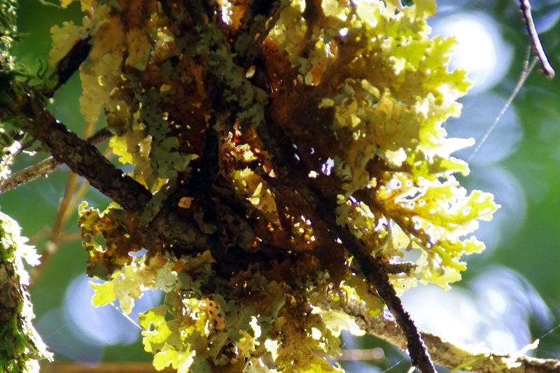 Lichen poussant sur une branche mais ne le parasitant pas.