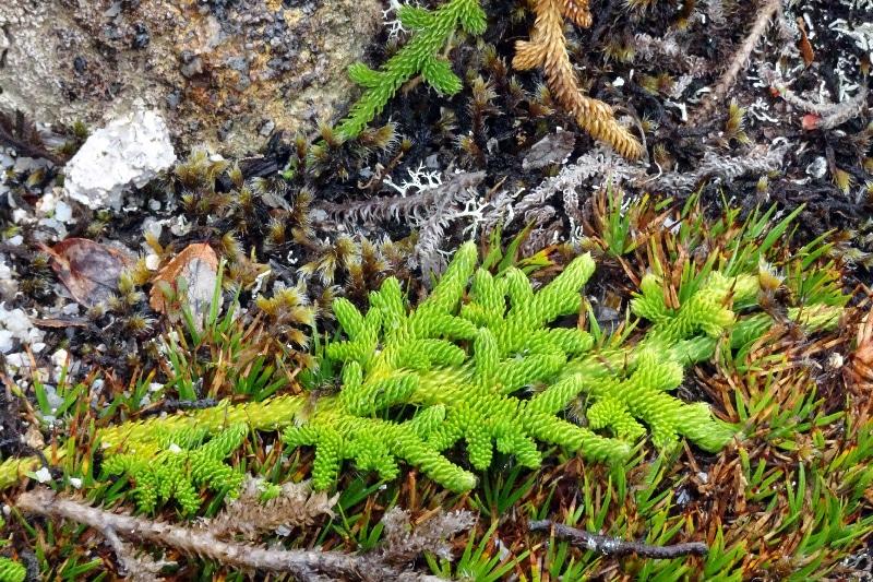 Lycopode, une plante proche des fougères.