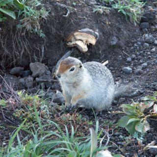 Écureuil terrestre.